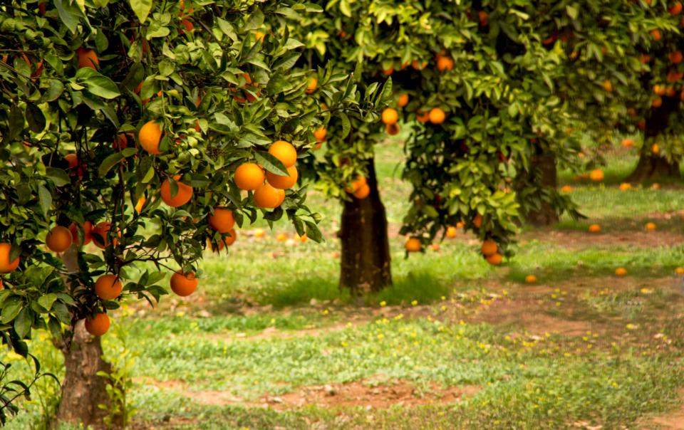 Los beneficios del riego por goteo en la producción citrícola.